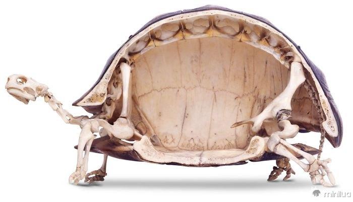 As tartarugas têm os esqueletos mais estranhos