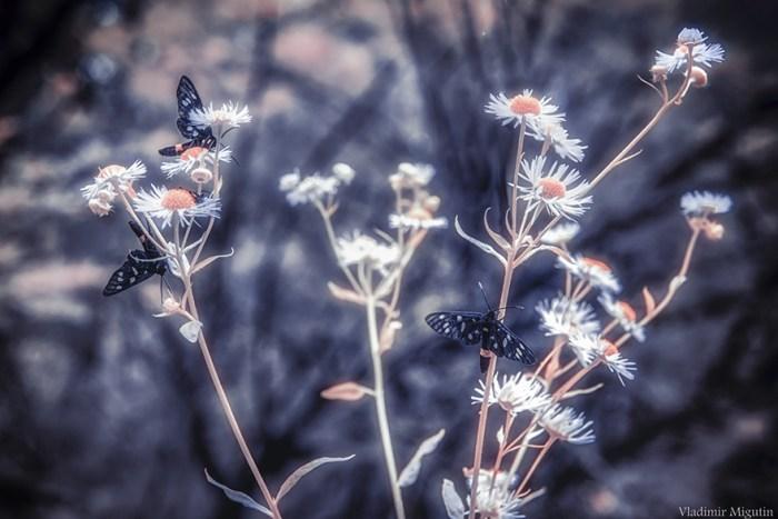 Borboletas e flores na floresta, Zona de exclusão de Chernobyl