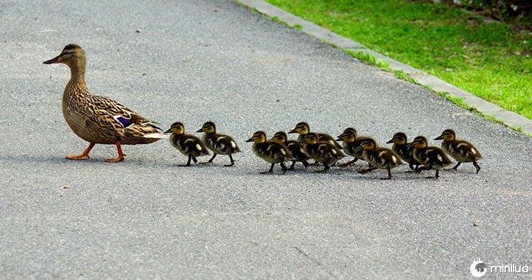 Patinhos seguindo sua mãe
