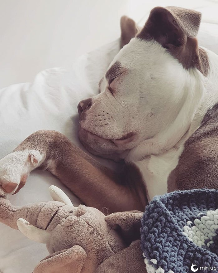 sad-dog-madame-sobrancelhas-inglês-bulldog-16