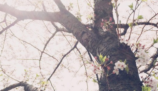 桜に教わるミニマリズム <br /> 佐々木典士