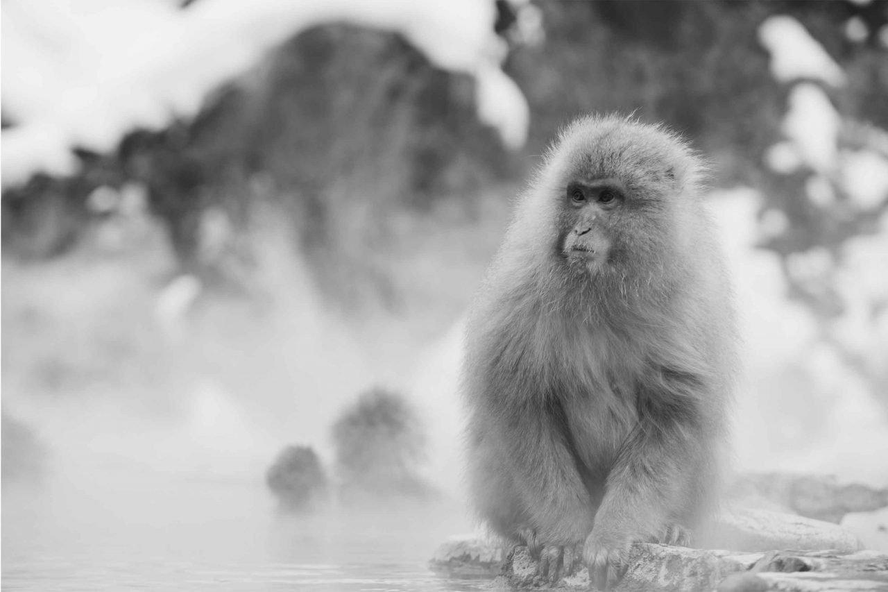 scimmia pelosa