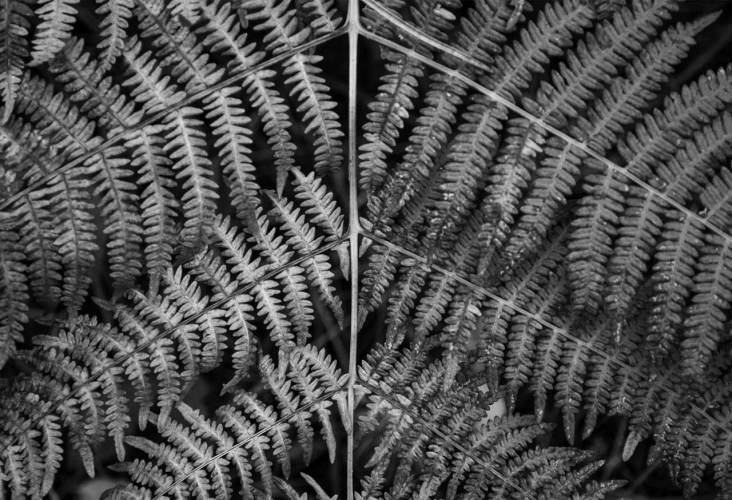 fern in opposition