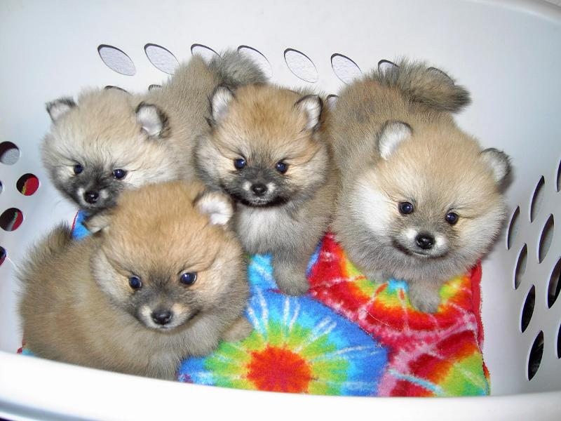 Rare Cream sable and Wolf sable Miniature Pomeranian Puppies For Sale,North west UK