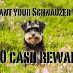 We Want Your Video For Cash Miniature Schnauzer