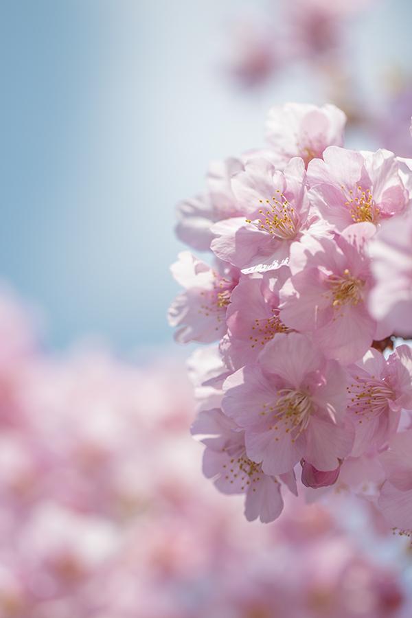 木場公園の川津桜
