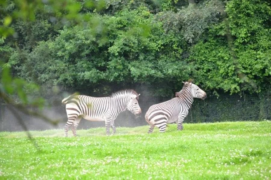 zebras marwell-wildlife-winchester-wildlife-everywhere-www.minitravellers.co.uk