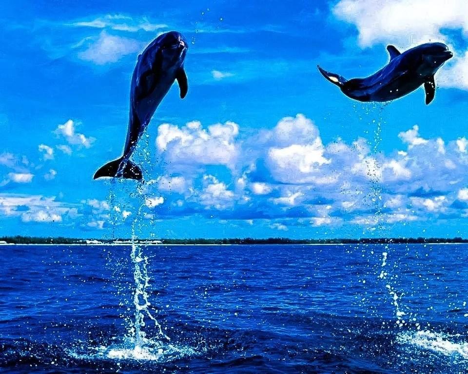 Dolphins Tamarin