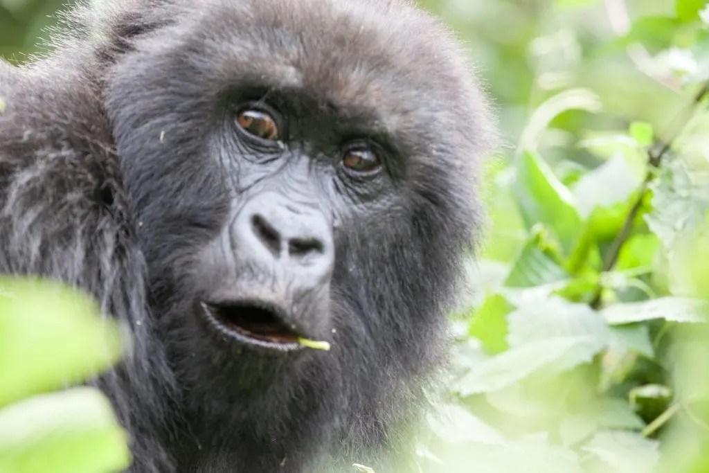 orilla Trekking in Rwanda and Kids! www.minitravellers.co.uk