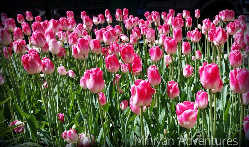 Beautiful pink tulips along 8th Street during Tulip Time.