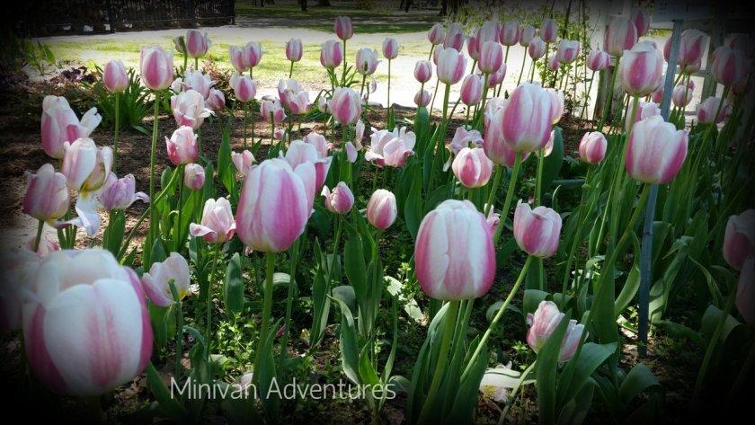 Lovely pink tulips at Centennial Park.