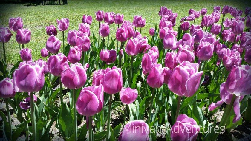 Purple tulips at Centennial Park.