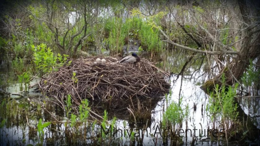 Get a close up view of this swan nest! It is only about 15 feet from the floating boardwalk.