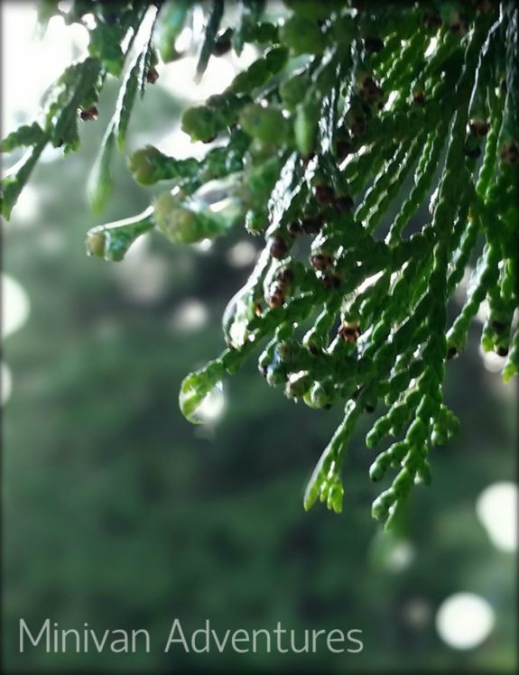 Our pine trees glistened with water drops as the sun made a brief-but-bright appearance between rain storms this morning.