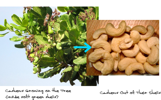 Growing Cashews on the tree and then ready to eat