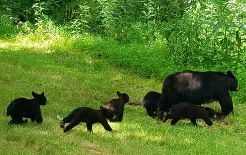 Bears at Biltmore Ashvville NC7117
