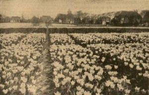 Tulpen-02