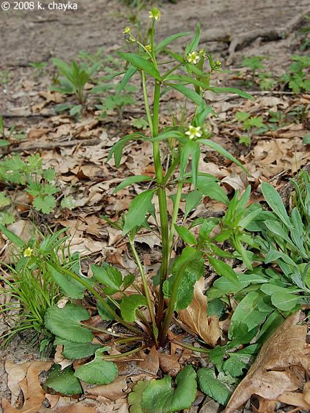Ranunculus Abortivus Little Leaf Buttercup Minnesota