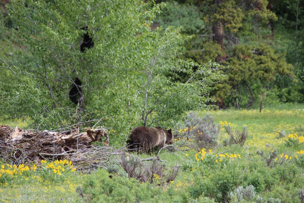 Grand Teton Grizzly Bear and Cubs