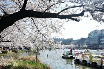 [東京賞櫻景點]櫻花百選~上野恩賜公園賞櫻,滿開的櫻花真的太夢幻了