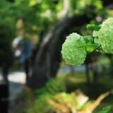 京都: 嵐山の紫陽花