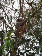 Koala a Kennet River
