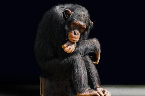 悩めるチンパンジー