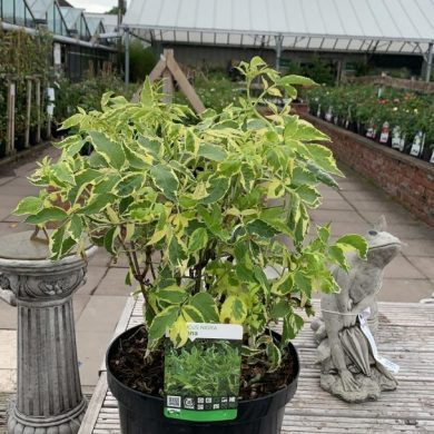 sambucus nigra madonna
