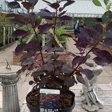 Cotinus Purple