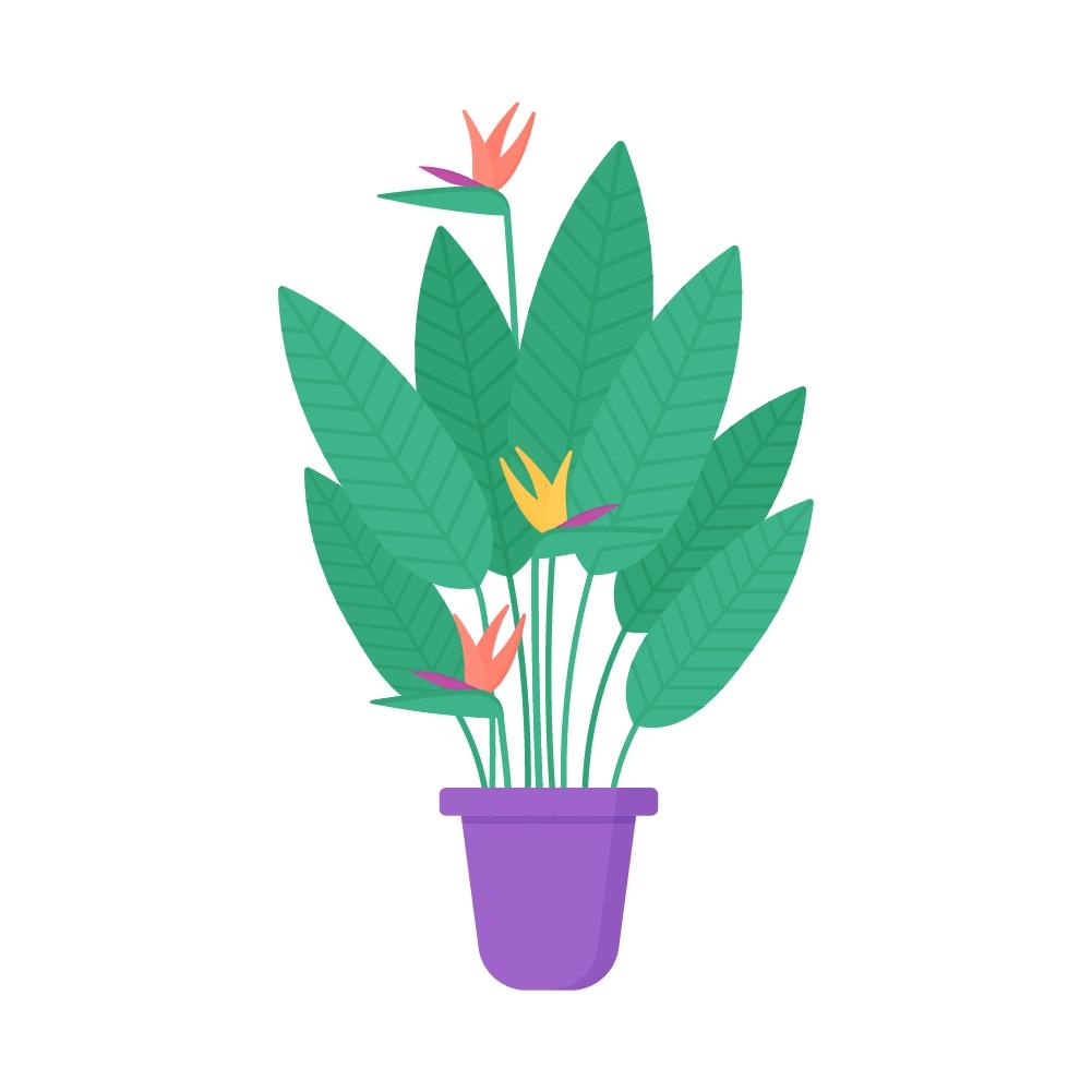 Flat illustration of Strelitzia Reginae with Flowers Plant