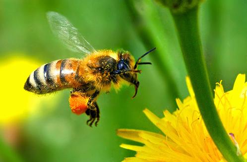 Polen de albine: proprietăți utile și contraindicații, utilizare în granule