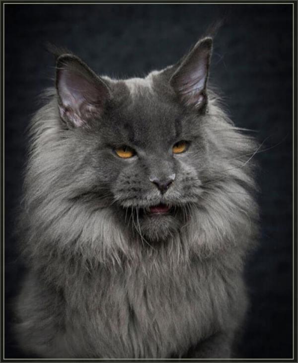 Мейн-куны 30 фото - взрослые коты и кошки, фото майкуна
