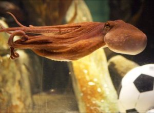 O noua caracatita prezicatoare