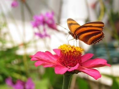 """Foto: Flor Cartagena  y mariposa""""Dionejuno"""" – Mocoa – Putumayo."""