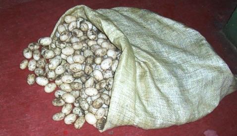 Incautados mas de 9mil huevos de tortugas en peligro de extinción