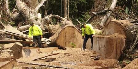 El año pasado, la Policía decomisó en todo el país 86.774 metros cúbicos de madera ilegal. El departamento más afectado, indican las autoridades ambientales, es Chocó.