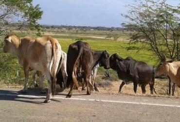 El sector ganadero, así como los demás renglones productivos, se está viendo afectado por la indiferencia del Ejecutivo para solucionar problemas que van desde la presencia de grupos armados, hasta el arreglo de vías de movilización. Foto: Corpoguajira