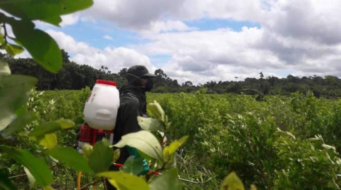 Fuerzas Militares están erradicando diariamente 57 hectáreas de coca