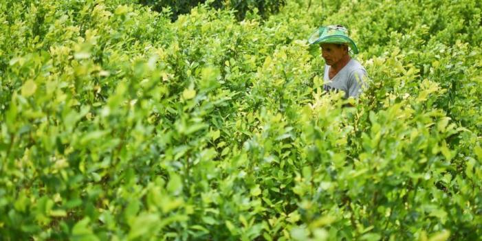 Mitos y verdades de la bonanza de la coca en Colombia