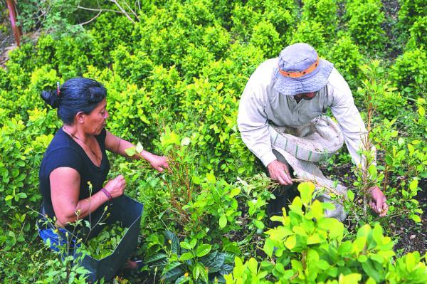 Programa de sustitución de cultivos le costaría al gobierno $2.5 billones