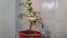 renacer tomates 2