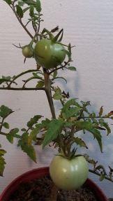 renacer tomates