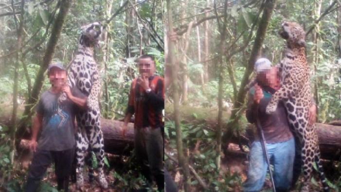 Corpoamazonia rechaza caza de felinos en Putumayo