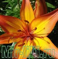 Фото лилии - фотографии цветов лилии