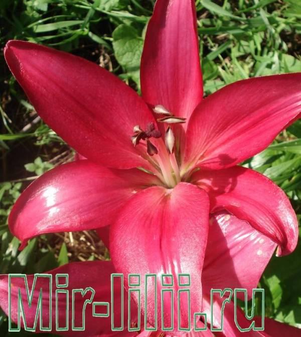 Лилия Пурпл Диаманд - красное чудо