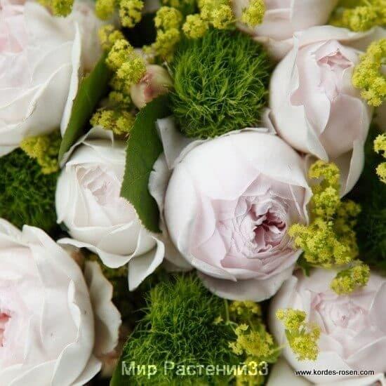 Роза флорибунда Herzogin Christiana. Герцогиня Кристиана ...