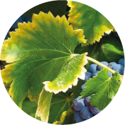 cercle-vigne