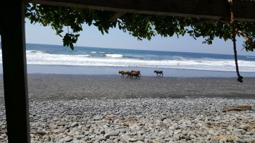 Cattle walking on the beach in Playa El Tunco El Salvador