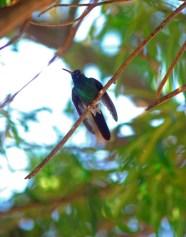 Zunzún pertenece a la familia del Colibrí, que cuenta con más de 300 especies propia del Continente Americano, en Las Tunas, Cuba, el 13 de noviembre de 2015. AIN FOTO/Yaciel PEÑA DE LA PEÑA/