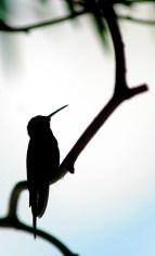 El zunzún, también conocido como picaflor o colibrí, es muy común en toda Cuba, lo mismo se le encuentra en bosques alejados que en jardines caseros, en Las Tunas, Cuba, el 13 de noviembre de 2015. AIN FOTO/Yaciel PEÑA DE LA PEÑA/